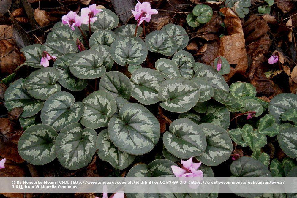 Kleine Winterharte Ganzjährig Blühende Winterharte Pflanzen