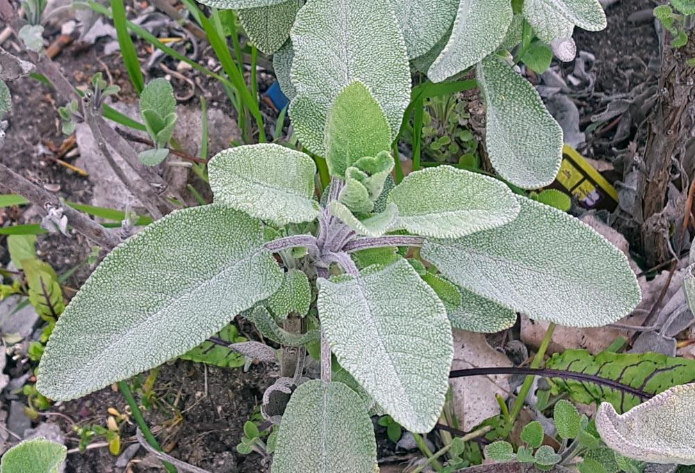 Kräuter Salbei Pflanzen