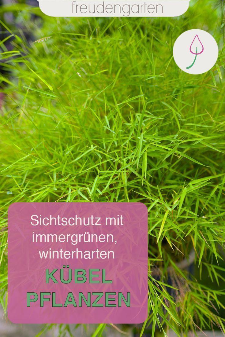 Kübel Sichtschutz Pflanzen Winterhart