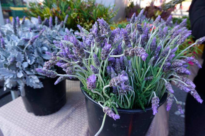 Lavendel Pflanzen Im Topf