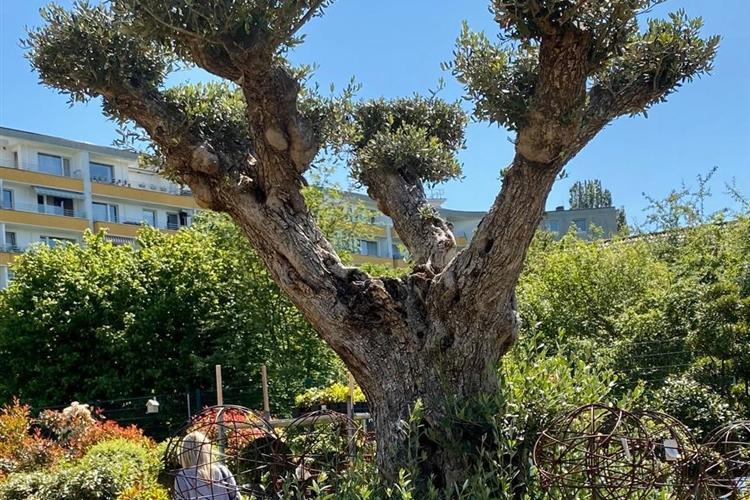 Mediterrane Pflanzen Winterhart Immergrün