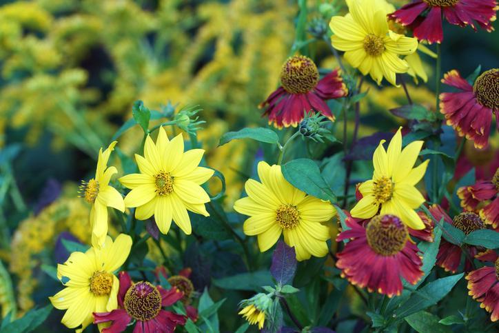 Mehrjährige Stauden Sonnenblume
