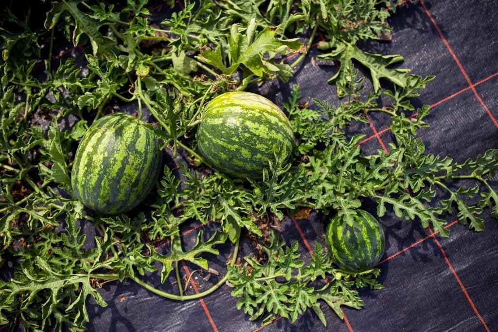 Melonen Pflanzen Klein