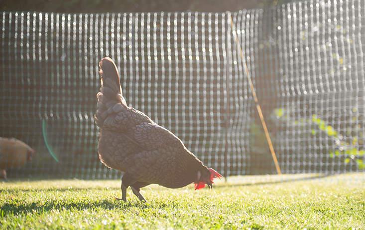 Mobiler Zaun Hühner