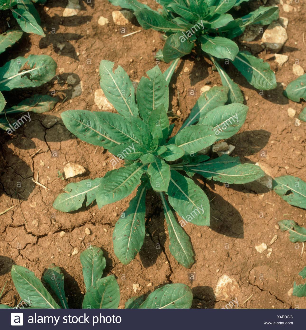 Nachtkerze Pflanze Bilder