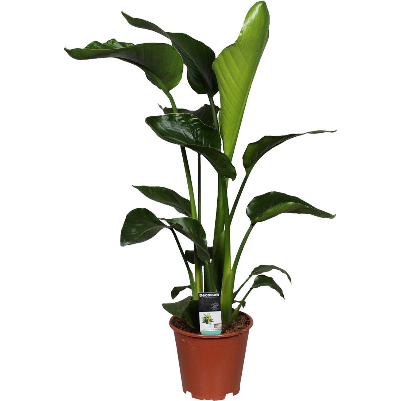 Papyrus Pflanze Kaufen Obi