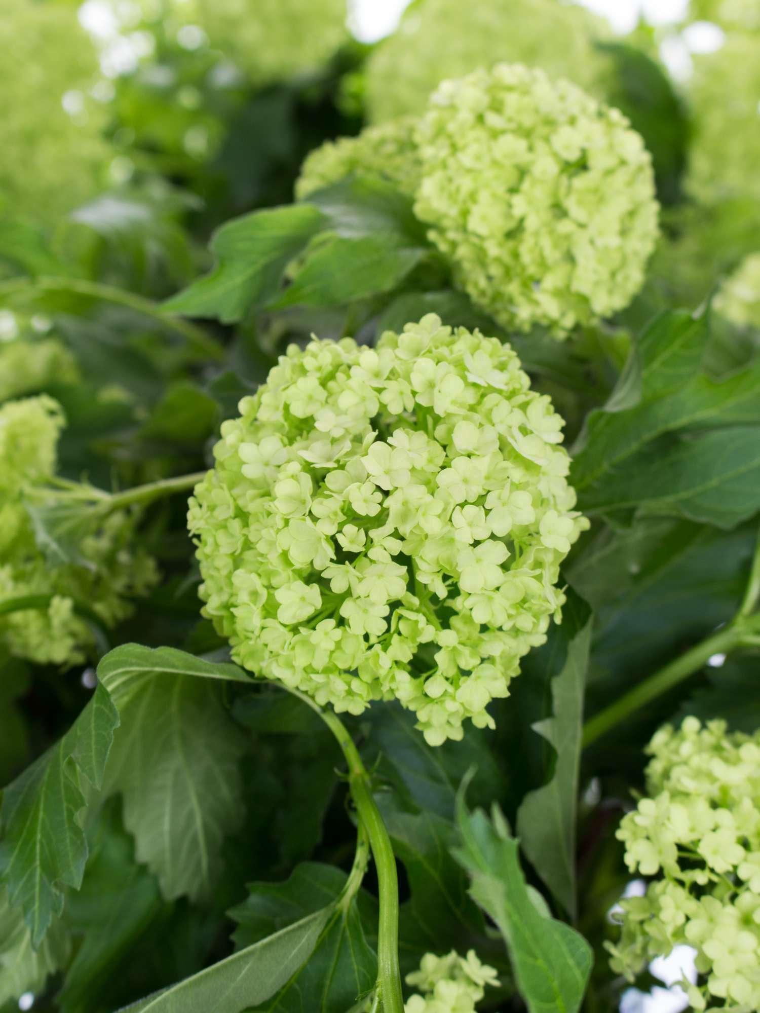 Pflanze Schneeball Grün