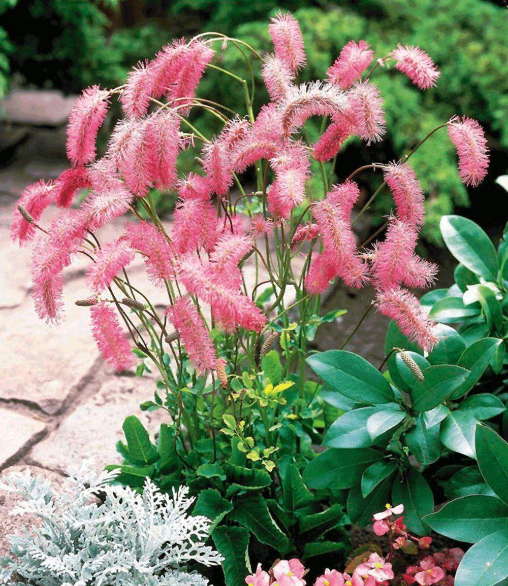 Pflanzen Blumen Winterhart Baldur Garten