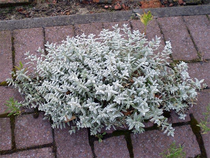 Pflanzen Für Steingarten Winterhart