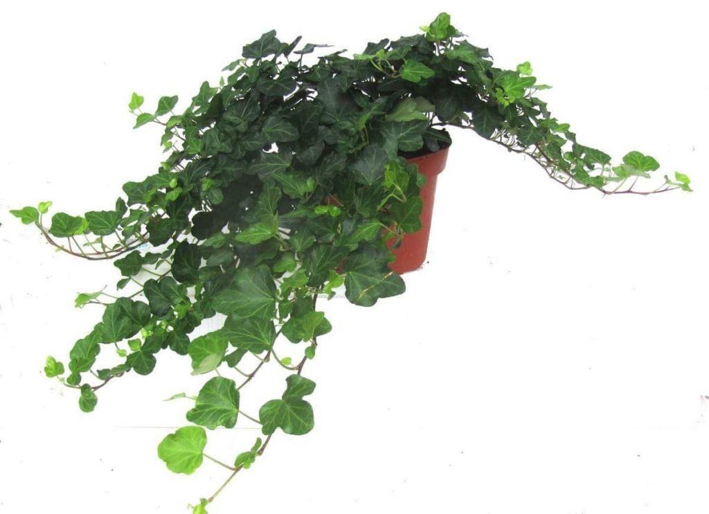 Pflanzen Halbschatten Wohnung