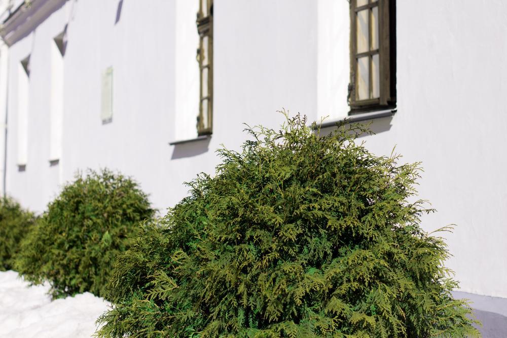 Pflanzen Sträucher Immergrün
