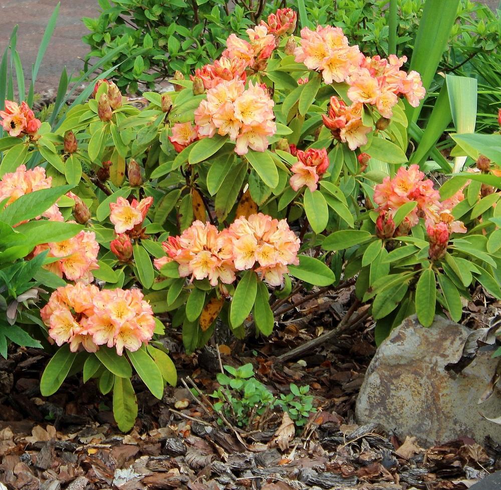 Rhododendron ähnliche Pflanzen