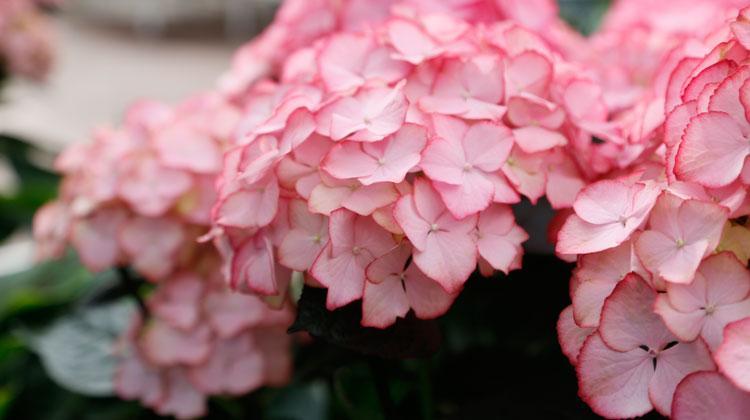 Rote Sommerblumen Winterhart