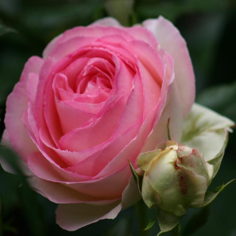 Růže Eden Rose 85