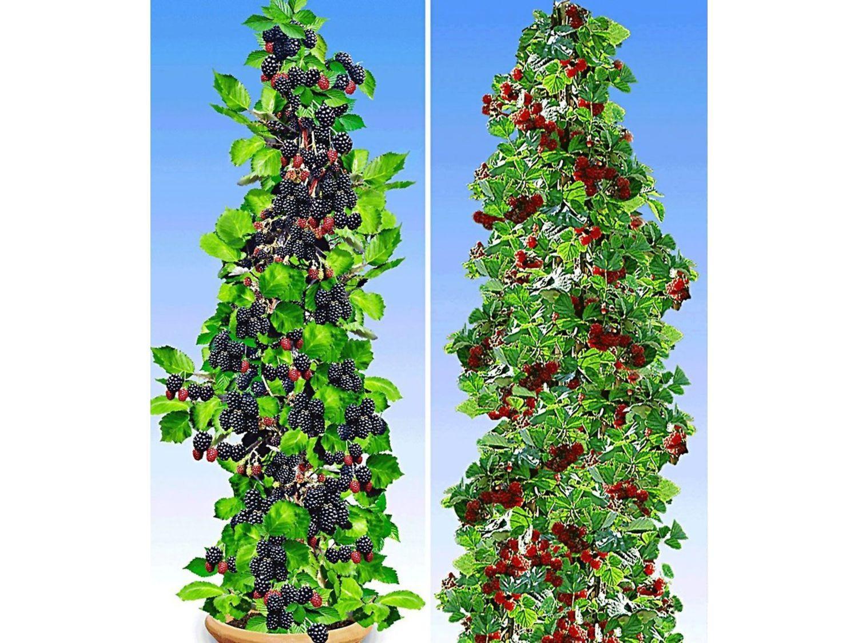 Säulen Pflanzen Immergrün