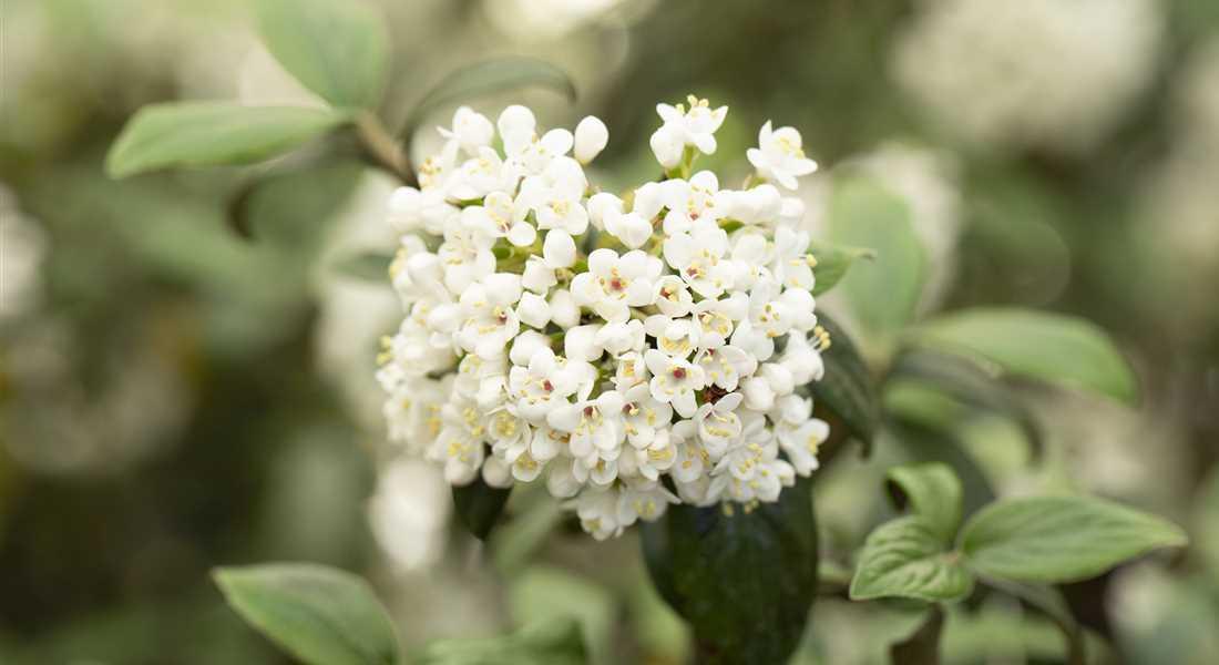 Schneeball Pflanze Giftig