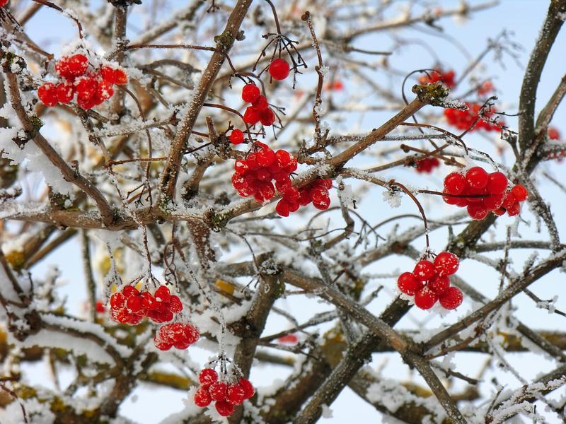 Schneeball Pflanze Winter