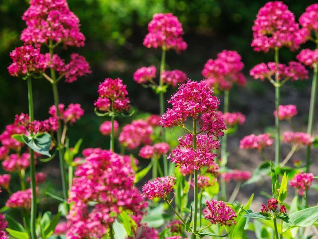 Stauden Winterharte Blumen
