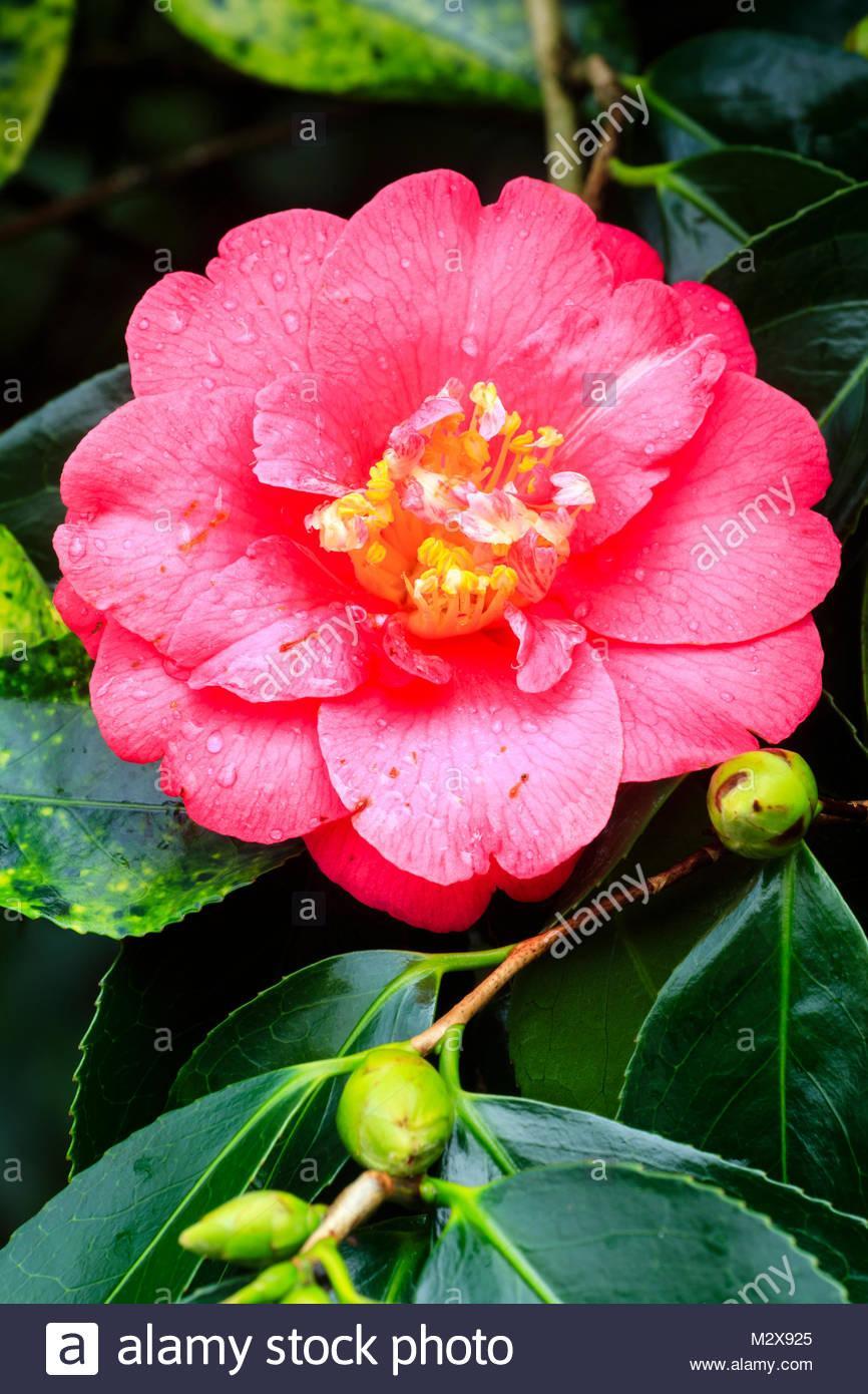 Strauch Immergrün Blühend