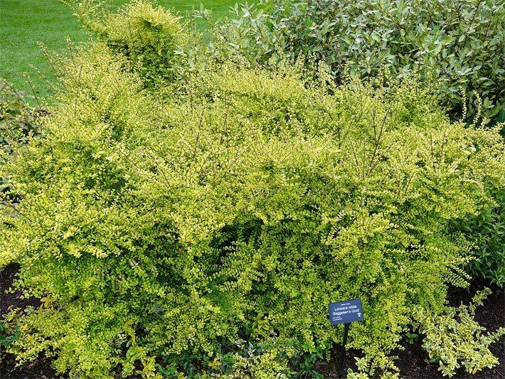 Sträucher Garten Immergrün