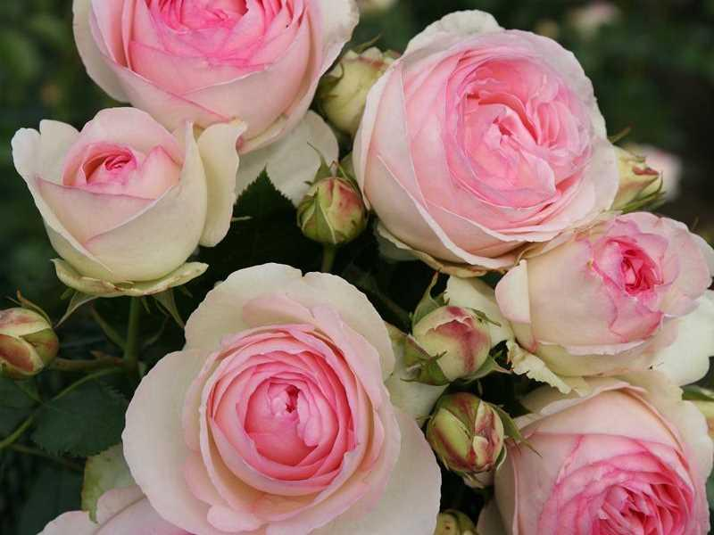 Strauchrose Eden Rose 85