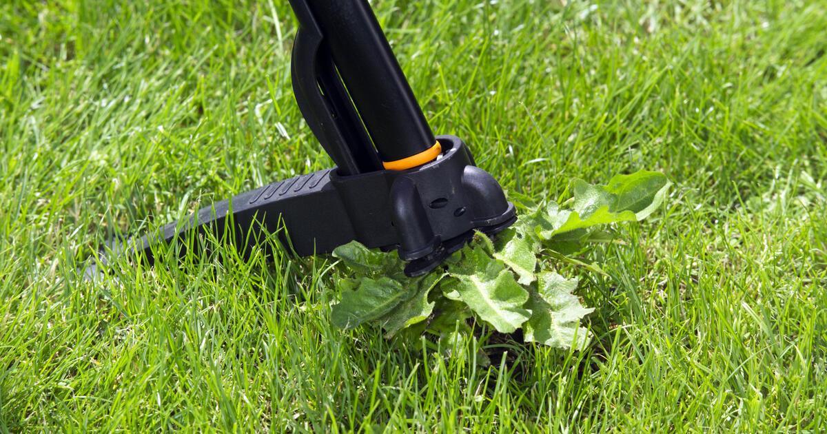 Unkraut Im Rasen Vernichten Hausmittel