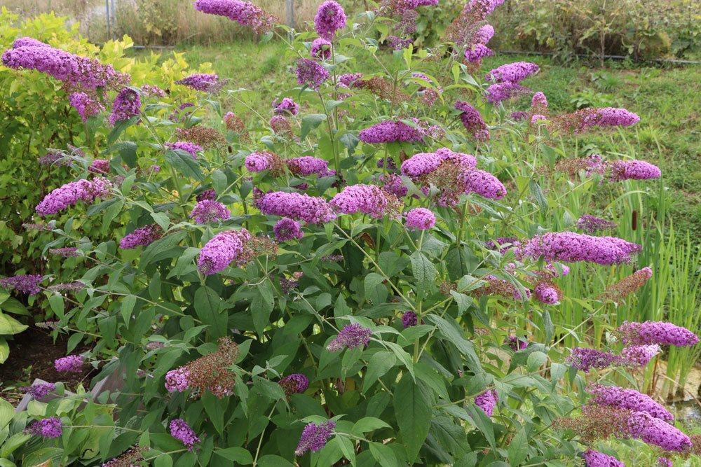 Winterhart Garten Sträucher