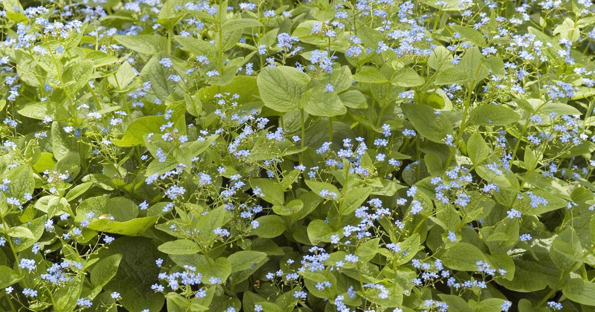 Winterharte Blühende Pflanzen Für Halbschatten