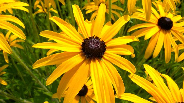 Winterharte Gelbe Sommerblumen Mehrjährig