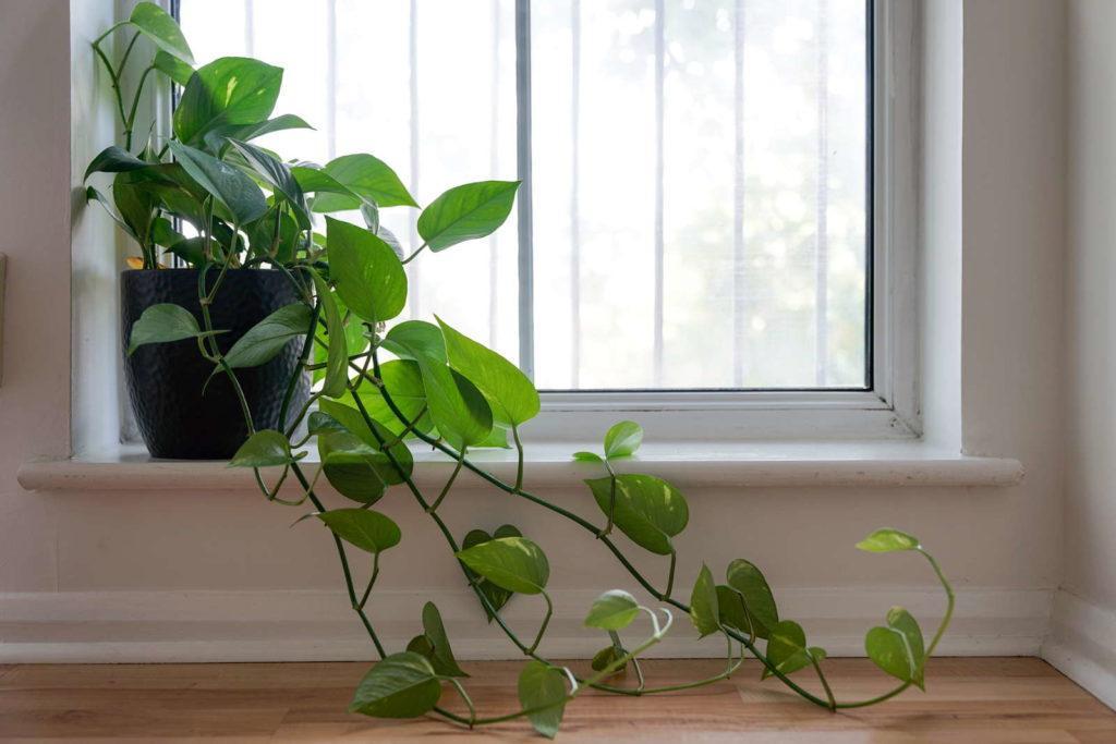 Wohnzimmer Hängepflanzen Topf