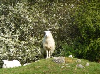 spring-sheep-doliago