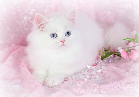 Cashmere White Persian KittenUltra Rare Persian Kittens