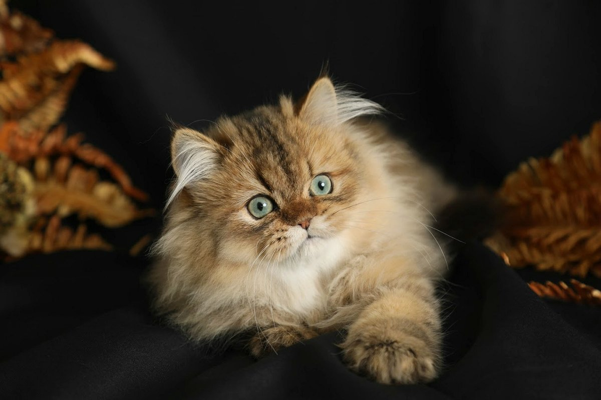 Golden Kittens Shaded Golden Persian Kittens