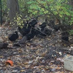 30 Ducks in the Yard