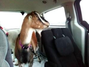 Pepper in the Van