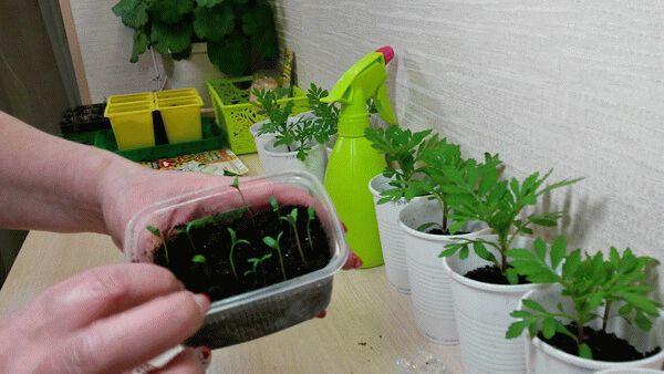 Нужно ли прищипывать бархатцы: советы по выращиванию цветов. Рекомендации по выращиванию бархатцев в открытом грунте и уходу за ними Надо ли прищипывать бархатцы прямостоячие