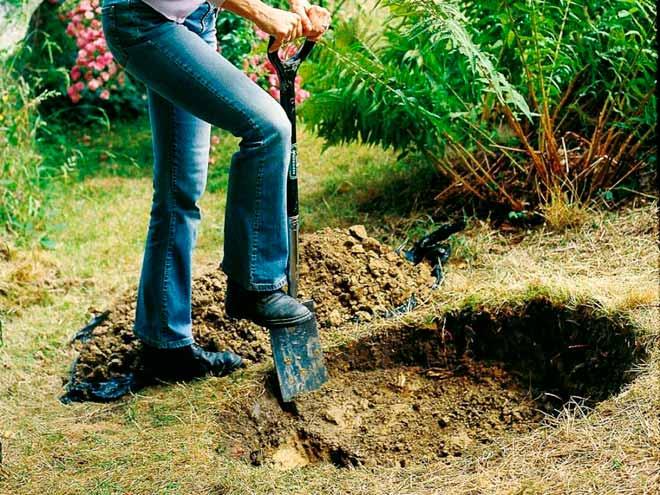 Можно ли сажать деревья зимой? Декоративные кустарники и деревья можно сажать зимой Посадка деревьев зимой.