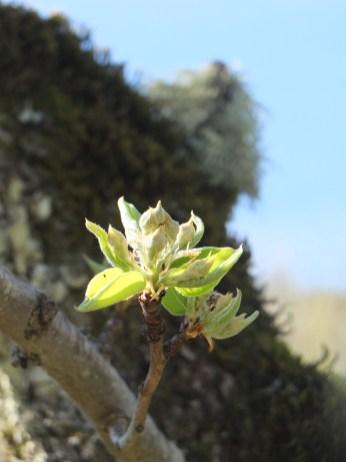 Fruit Blossom Bud