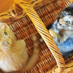 Orange Maine Coon and Tortoiseshell Kitten Looking For Forever Home!