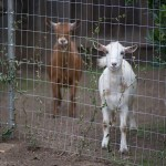 Meet Idee and Odee – Our Nigerian Dwarf Goats!