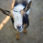 Meet Eos – Our Newest Nigerian Dwarf Goat!