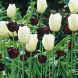 queen of night and maureen tulips