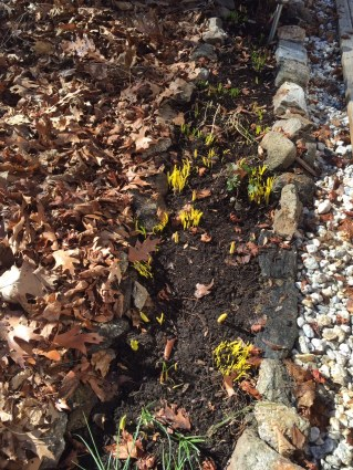 crocuses and tulips coming up