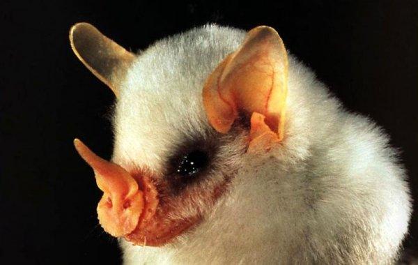 Какие бывают у летучей мыши когти