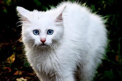 Невроз у кошек симптомы. Как кошка ведёт себя во время течки? Что делать, если у кошки стресс