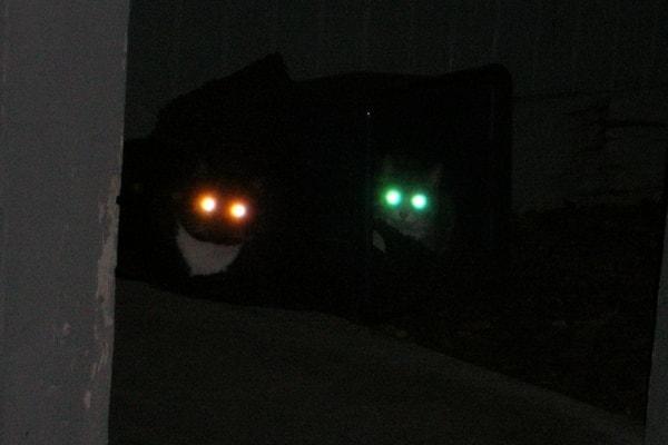 Почему у кошек глаза светятся разными цветами. Почему у котов в темноте светятся глаза. Почему светятся глаза