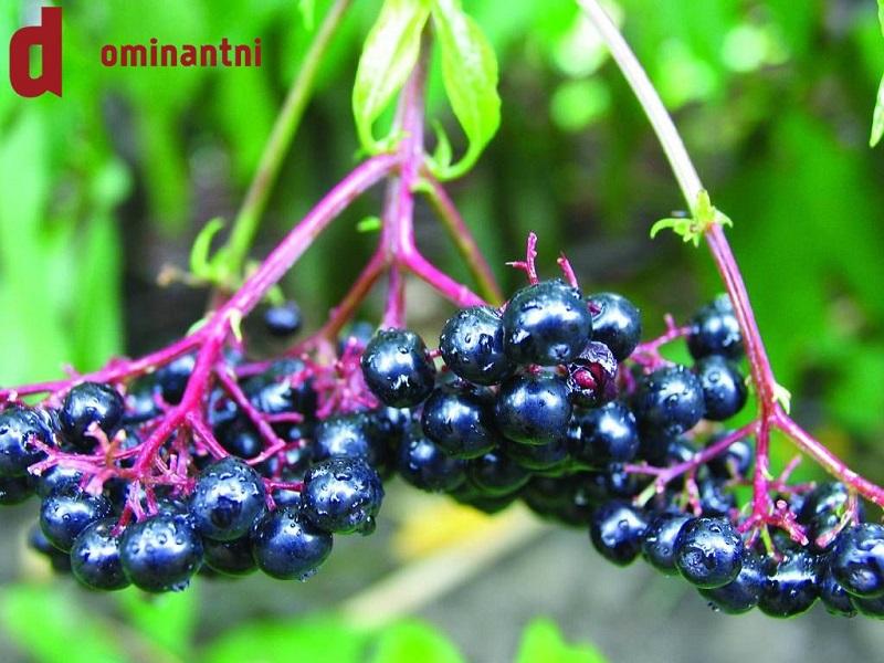 Aronia, najzdravija biljka na svijetu