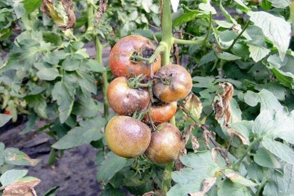PLAMENJAČA UNIŠTAVA PLOD I SAV VAŠ TRUD: Evo kako možete da zaštite paradajz