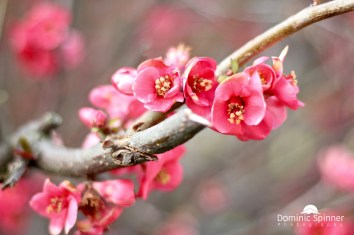 Dieses Bild entstand auf einem Spaziergang durch das Dorf im Frühling. Mitten im Ort entdeckte ich diesen Baum/Strauch, an dem sich diese schönen Blüten befanden. Eines der ersten Frühlingsfotos des Jahres war gleich mein Liebstes!