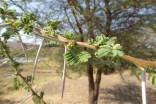 Acacia up close - giraffe food